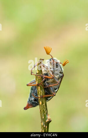 Maikaefer; Melolontha; - Stock Photo