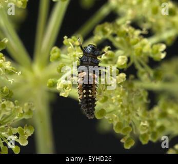 larve asiatischer marienkaefer stock photo royalty free. Black Bedroom Furniture Sets. Home Design Ideas