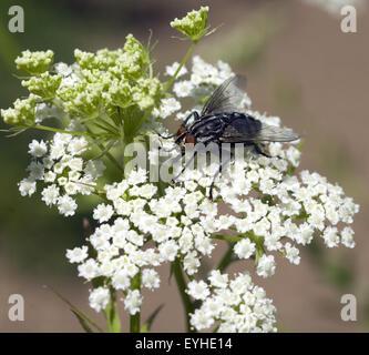 Schmeissfliege, Fliege, Calliphora, vicina, - Stock Photo