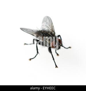 Stubenfliege; Musca domestica - Stock Photo