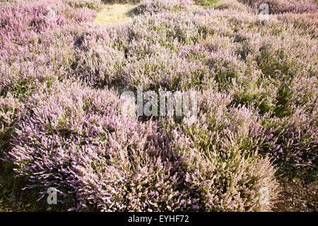Purple flowering heather plants growing on heathland in summer, Shottisham, Suffolk, England, UK - Stock Photo