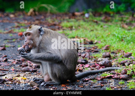 A crab eating or long tailed macaque monkey eats nuts that have falled from a tree,, Macaca fascicularis, Bali, - Stock Photo
