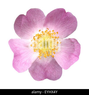 Hundsrose; Heckenrose; Rosa canina; - Stock Photo
