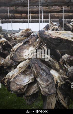 Northeast Artic cod fish heads drying on racks, Lofoten Islands, Norway, Scandinavia, Europe - Stock Photo