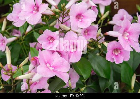 pandorea jasminoides rosea plant Stock Photo