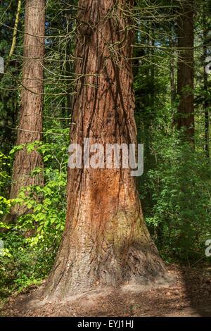 Giant sequoia / giant redwood / Sierra redwood / Sierran redwood / Wellingtonia (Sequoiadendron giganteum) detail - Stock Photo