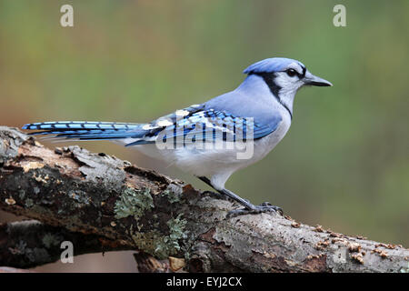 A blue jay (Cyanocitta cristata) perching on a branch in Fall. - Stock Photo