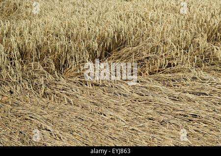 Getreidefeld; Getreidefeld Sturmschaden; Getreidefeld Windschaden, Getreide - Stock Photo