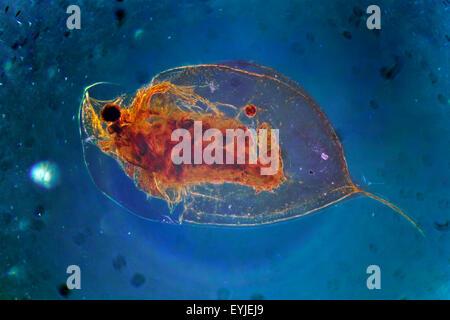 Microscope Slide of Daphnia Cladocera - Stock Photo