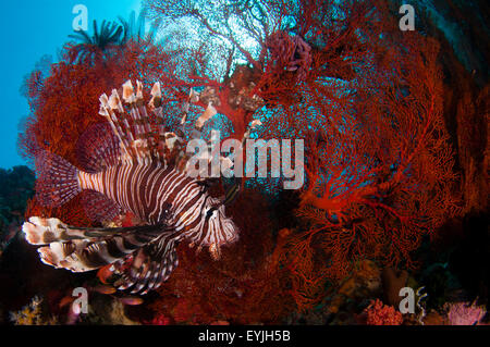 A large lionfish, Pterois volitans, hunts small fish in front of a bright red seafan, Melithaea sp., Pantar Island, - Stock Photo