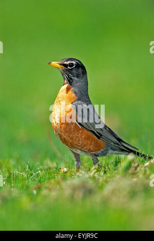 American Robin in meadow, portrait, alert - Stock Photo
