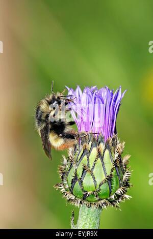 Bumblebee feeding on cornflower - Stock Photo