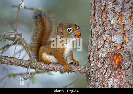 |Baby Red Squirrel in tree with spruce cone - Stock Photo