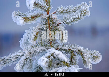 Young Western White Pine tree covered with snow and frost - Stock Photo