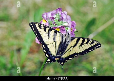 Swallow-tail Butterfly feeding on red clover flower close up - Stock Photo