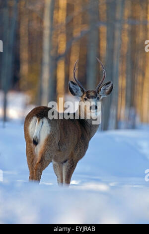 Mule Deer Buck standing in deep snow at edge of forest - Stock Photo