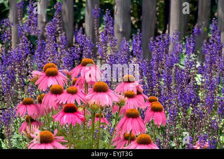 Steppen-Salbei; Salvia nemorosa, roter, Sonnenhut - Stock Photo