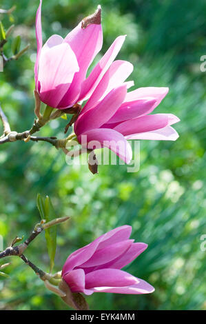 Pink Magnolia flowers in spring - Stock Photo