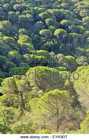 Stone Pine ( Pinus pinea) forest Costa Brava Catalonia Spain Europe - Stock Photo