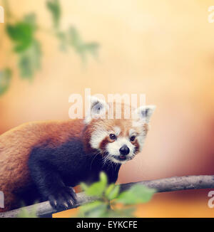 Red Panda Bear Climbing On A Tree - Stock Photo