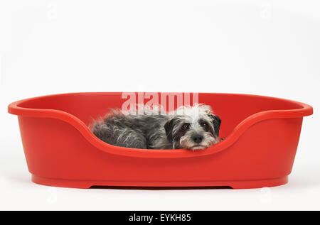 Studio Shot Of Pet Lurcher Lying In Red Dog Bed - Stock Photo