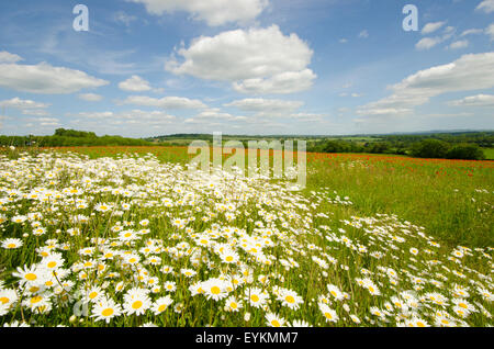 Ox-eye Daisies [Leucanthemum vulgare] on near side of a field containing Common Poppies [Papaver rhoeas].  West - Stock Photo