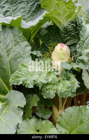 Rhubarb, Rheum rhabarbarum, useful plant, garden - Stock Photo