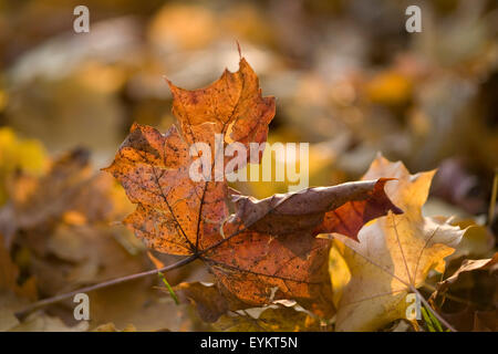 Brown and yellow autumnal maple leaf, detail, - Stock Photo