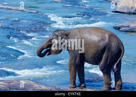 Sri Lanka, Ceylon, North Central Province, Pinnawela elephant orphanage, elephant bath - Stock Photo
