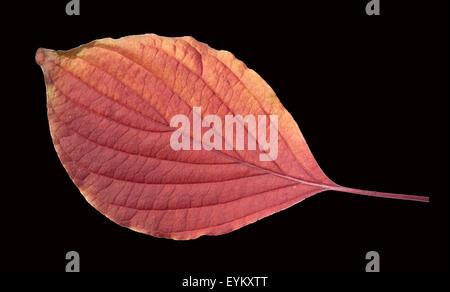 Riesen, Hartriegel, Cornus, Herbstfaerbung, - Stock Photo