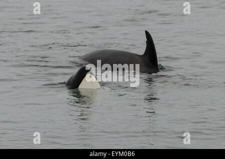 Killer Whales (Orcinus orca), toothed whales, usually travel in matrilineal family groups; Icy Strait; Southeast - Stock Photo