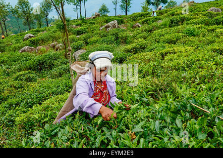 Sri Lanka, Ceylon, Central Province, Haputale, tea plantation in the Highlands near Lipton's seat, Tamil women tea - Stock Photo