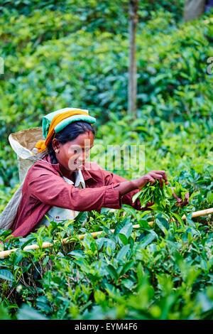 Sri Lanka, Ceylon, Central Province, Haputale, tea plantation in the Highlands, Tamil Women Tea Picker picking tea - Stock Photo