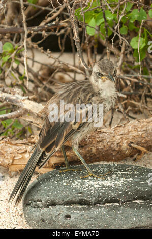 Mimus macdonaldi, Espanola Mockingbird, Espanola Island, Galapagos Islands, Ecuador - Stock Photo