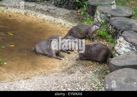 Asian Short-Clawed Otter (Amblyonx cinerea) - Stock Photo