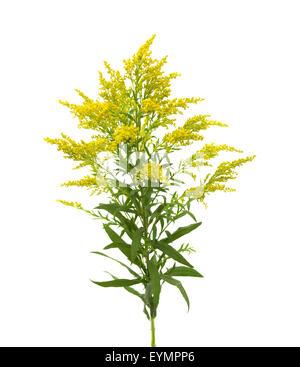 Solidago, goldenrod plant isolated on white background - Stock Photo