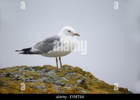 Common gull,  Larus canus, single bird on rock, Isle of Mull, July 2015 - Stock Photo