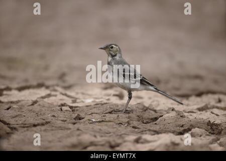Pied wagtail, Motacilla alba, single young bird on mud, Warwickshire, July 2015 - Stock Photo