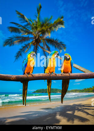Tropical vacation concept - three parrots Blue-and-Yellow Macaw Ara ararauna also known as the Blue-and-Gold Macaw - Stock Photo