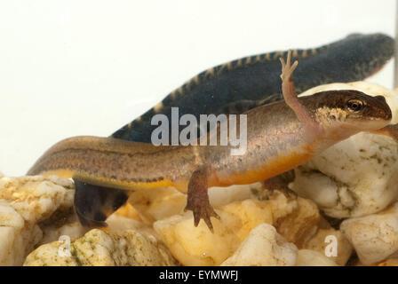 Bergmolch; Ichthyosaura; Maennchen, Weibchen - Stock Photo