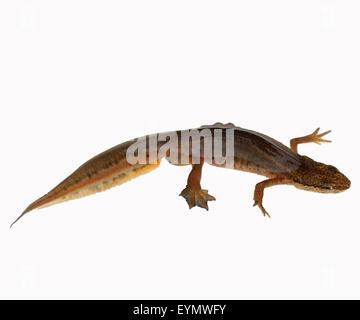 Bergmolch, Ichthyosaura alpestris, weiblich - Stock Photo