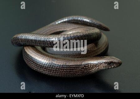 Blindschleiche, Anguis, fragilis, Echsenart, Echse, - Stock Photo
