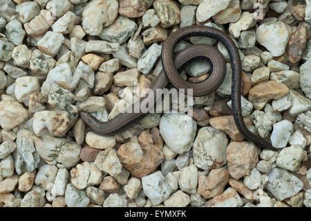 Blindschleiche; Anguis; fragilis; Echsenart; Echse; - Stock Photo