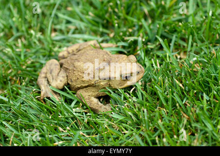 Kroete, Bufo bufo, Erdkroete, - Stock Photo