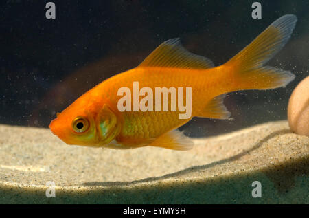Goldfisch, Carassius gibelio, Suesswasserfisch - Stock Photo