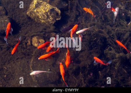 Goldfische, Carassius auratus, - Stock Photo