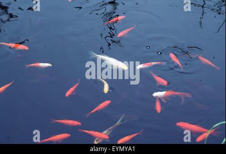 Goldfisch, Carassius auratus, - Stock Photo