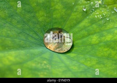 Junger, Grasfrosch,  Rana, temporaria - Stock Photo