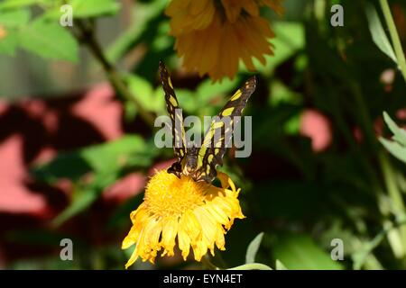 Malachite Butterfly on yellow flower, New Mexico - USA - Stock Photo
