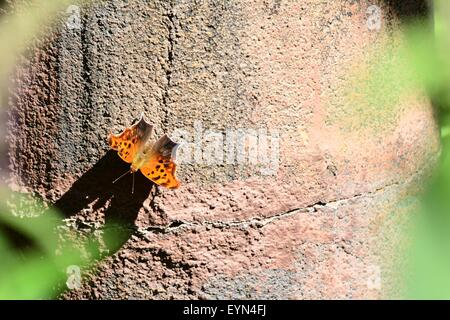 Question Mark Butterfly on exhibit - New Mexico - USA - Stock Photo